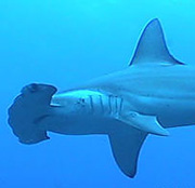 Scalloped hammerhead sharks, Sphyrna lewini
