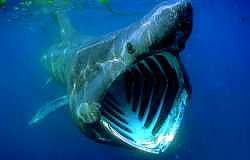 Little known facts about the ocean marinebio basking sharks cetorhinus maximus publicscrutiny Images