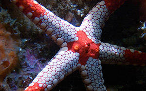 Sea star, Lembei Strait, Suluwesi, Indonesia 2008