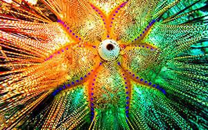 Sea urchin, Lembei Strait, Suluwesi, Indonesia 2005