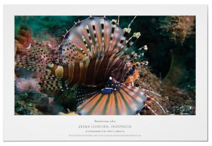 Zebra Lionfish by MarineBio Print