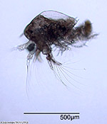 Earliest and most basic type of a crustacean larva is the nauplius