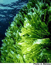 Invasive algae - Caulerpa