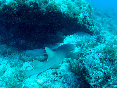 Nurse shark, Ginglymostoma cirratum