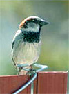Figure 10.2. The house sparrow.