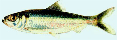 Figure 10.7 The alewife. NOAA Fisheries