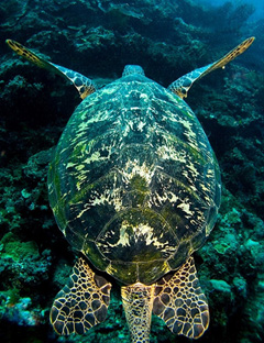 Chelonia mydas, Green Sea Turtle