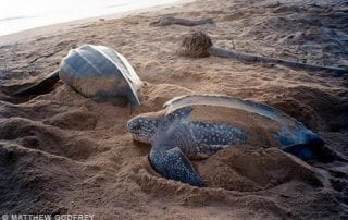 Leatherback Sea Turtles, Dermochelys coriacea