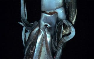 Giant Squids, Architeuthis dux