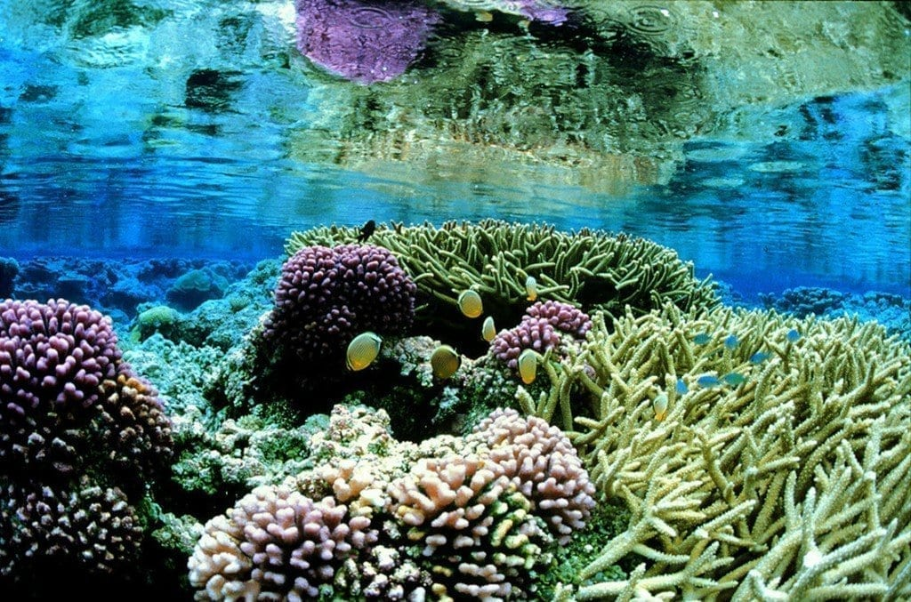 Pink corals on the Palmyra Atoll in the Pacific. Part of three island chains designated as protected areas by President George W. Bush.