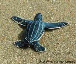 Leatherback sea turtle, Dermochelys coriacea