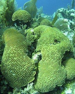 brain corals