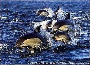 Delphinus delphis, Short-beaked common dolphins