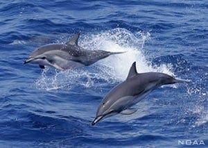 Stenella clymene, Clymene dolphins