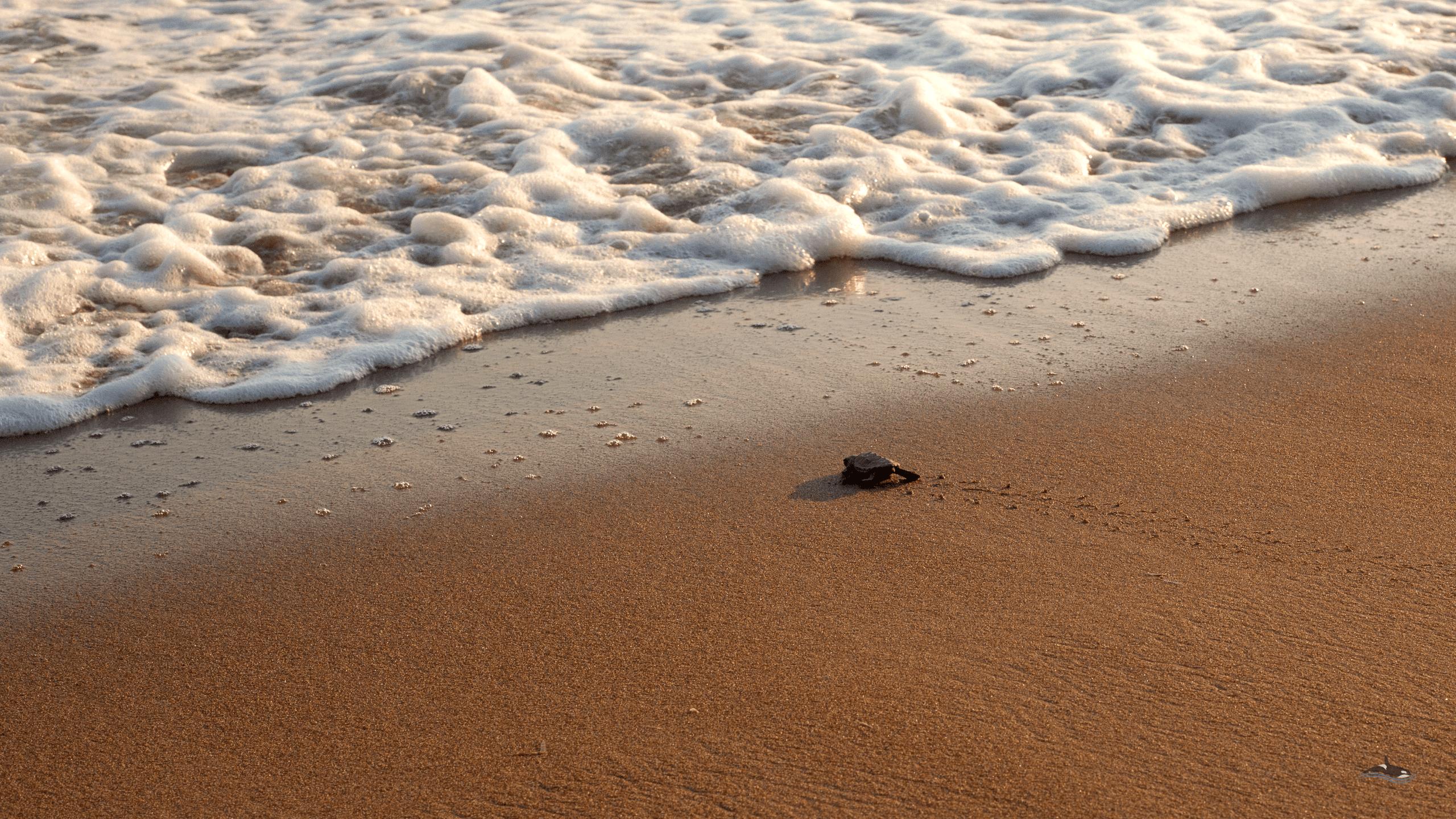MB sea turtles wallpapers