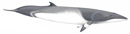 Minke Whale, Balaenoptera acutorostrata