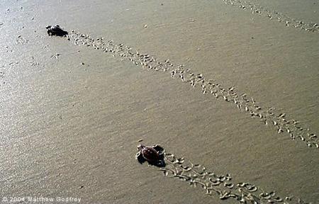 Loggerhead hatchlings heading to the sea.
