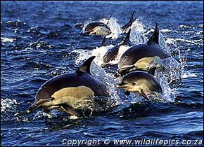 Long-beaked common dolphins, Delphinus capensis