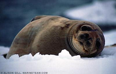 Weddell seals, Leptonychotes weddellii