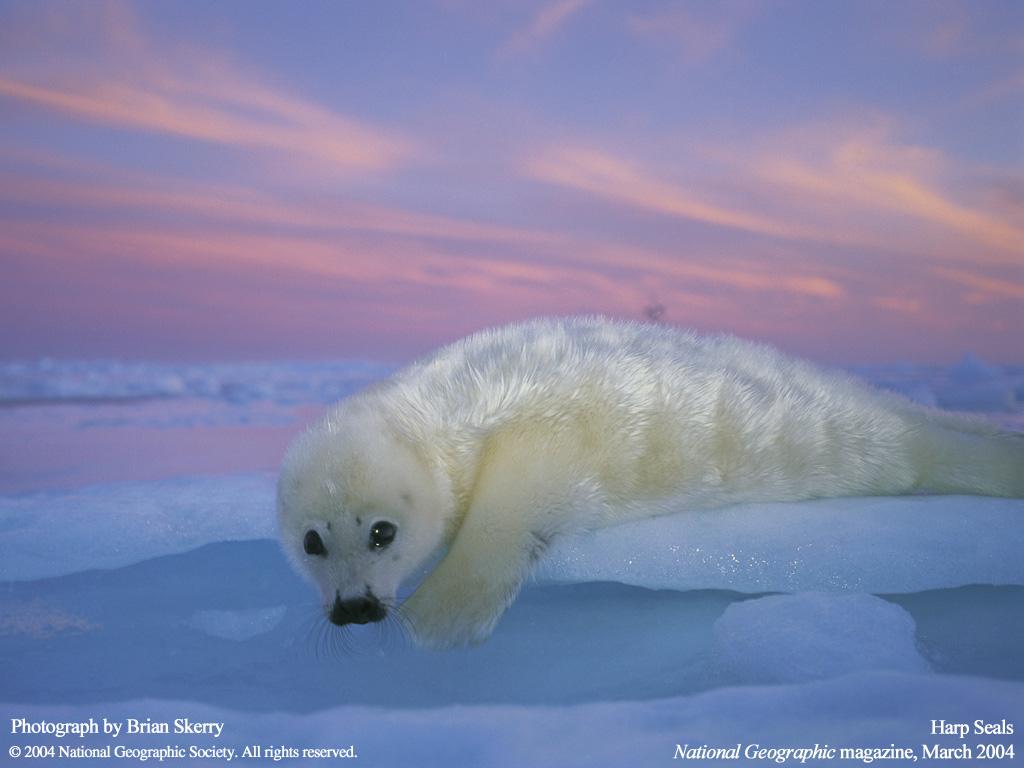 Harp Seals Marinebio Conservation Society