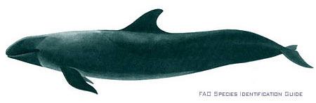The false killer whale