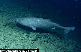 Pacific Sleeper Sharks