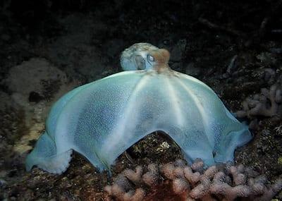 Caribbean reef octopus, Octopus briareus