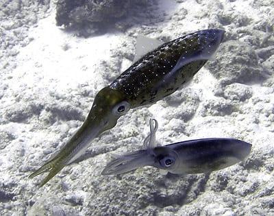 Reef squid, Sepioteuthis sepioidea