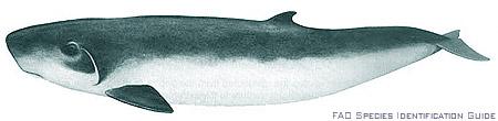 Pygmy sperm whales, Kogia breviceps